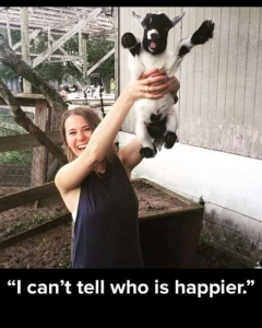Instagram: Not our picture (credit: Google) but soooooo cute! Like if #maplewoodfarm goats make you THIS happy! #happysunday #goatsofinstagram