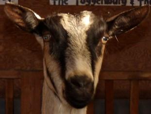 Goats - Maplewood Farm