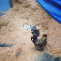 hens taking an early morning saw dust bath
