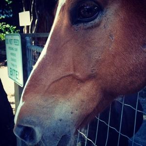 Instagram: What a cutie. #maplewoodfarm #krokur #horse #icelandic #northshore